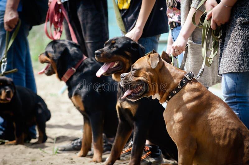 Cães do serviço de treinamento Equipes de ensino Local da formação especial fotografia de stock royalty free