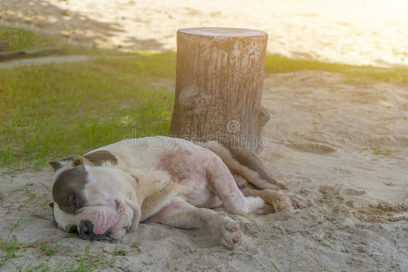 Cães do sono na praia na luz do dia fotografia de stock royalty free