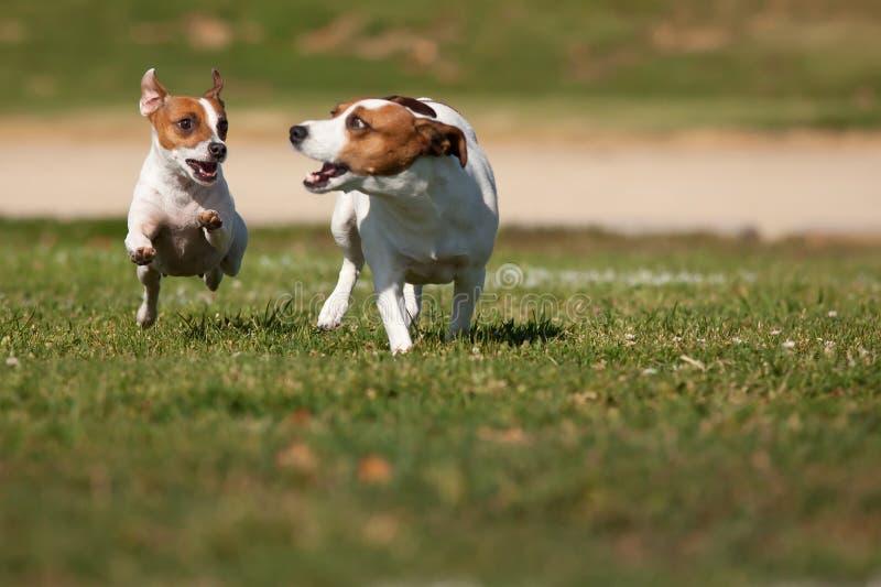 Cães do terrier de Jack Russell que funcionam na grama foto de stock royalty free