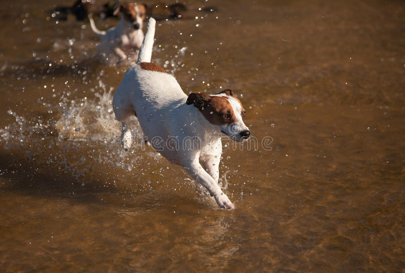 Cães do terrier de Jack Russell que jogam na água foto de stock