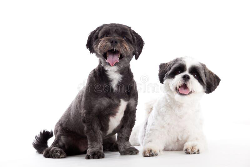 2 cães do tzu do shi estão olhando imagens de stock royalty free