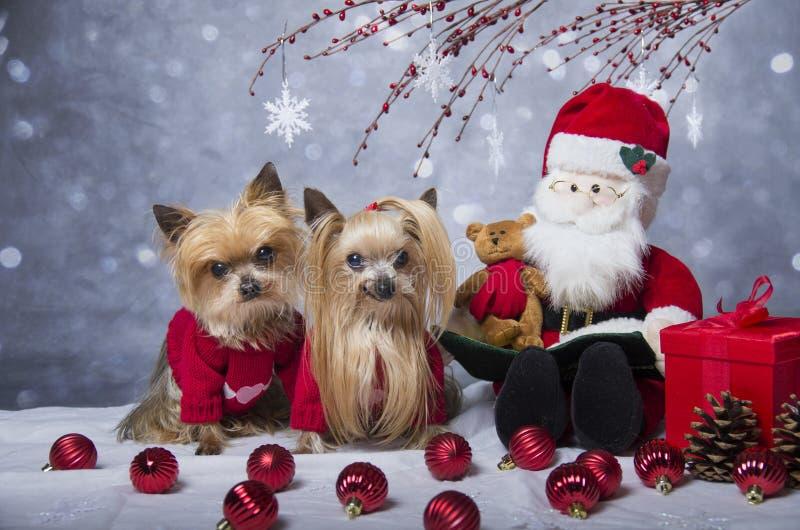 Cães do yorkshire terrier do Natal fotografia de stock