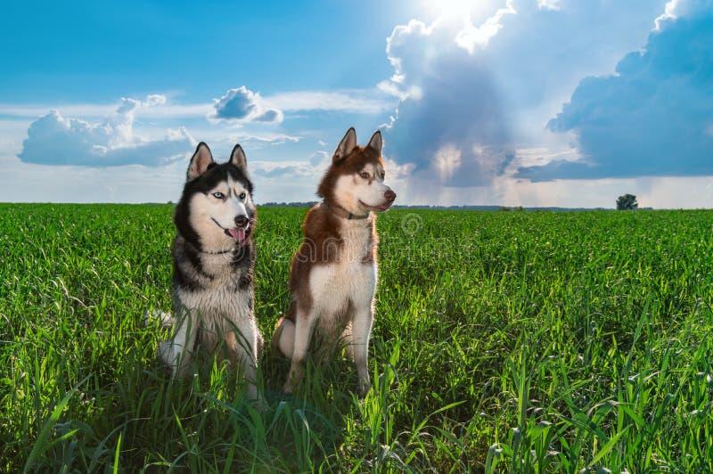 Cães dos cães de puxar trenós siberian do retrato Dois cães roncos felizes bonitos que nivelam o retrato na grama verde do fundo  foto de stock