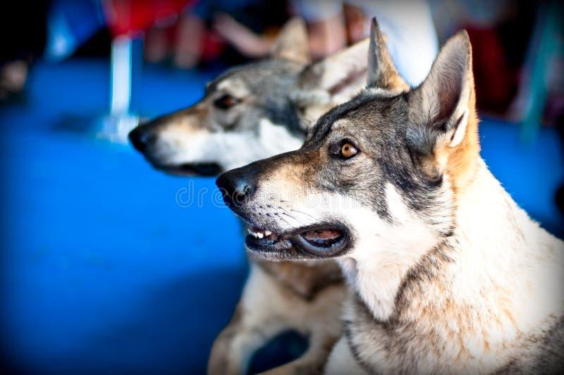 Cães dos pares imagem de stock royalty free