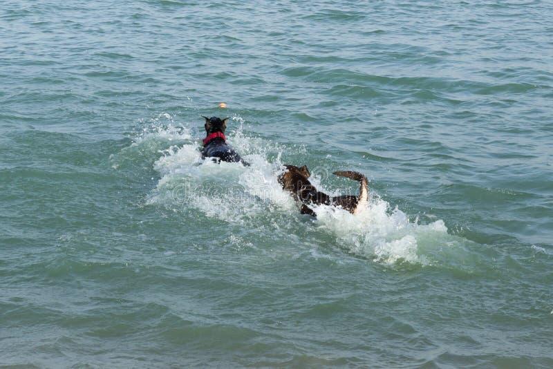 Cães em um respingo da água, competindo para buscar uma bola foto de stock