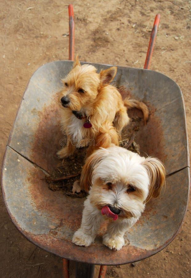 Cães em um wheelbarrow fotos de stock royalty free