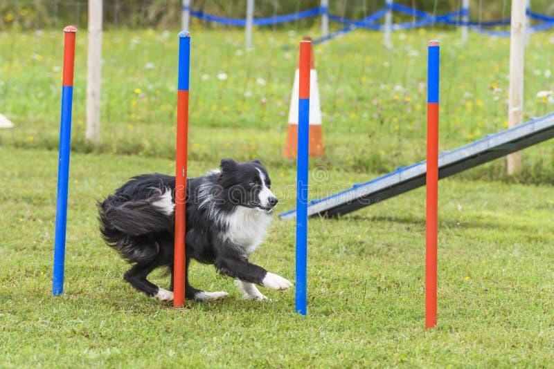 Cães em uma competição da agilidade fotografia de stock royalty free