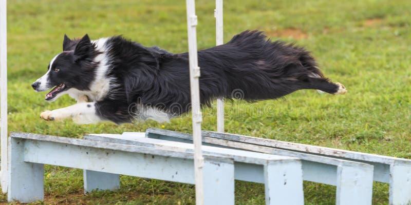 Cães em uma competição da agilidade imagens de stock