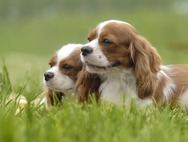 cães encantadores fotos de stock royalty free