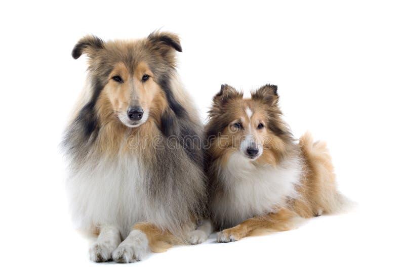 Cães escoceses do collie imagens de stock