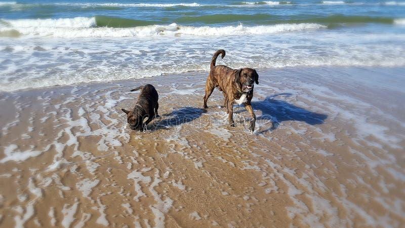 Cães felizes de Dinamarca foto de stock