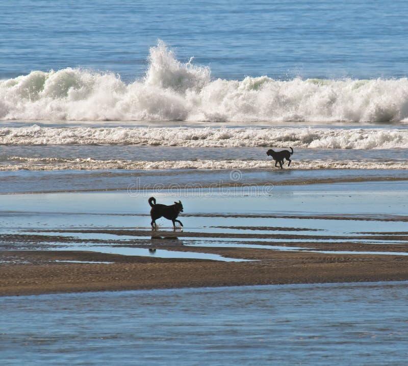 Cães na água na praia imagem de stock royalty free
