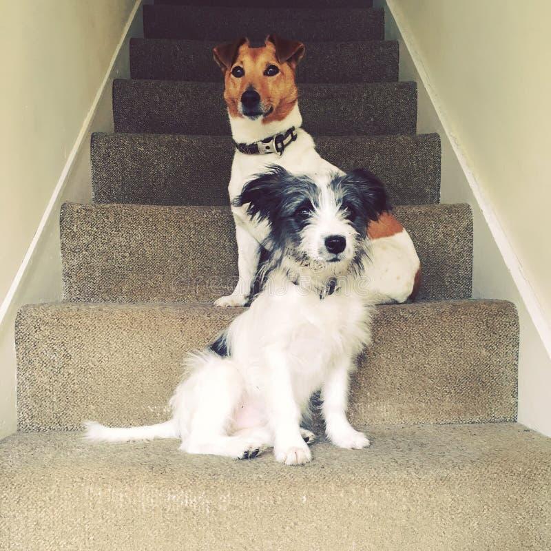Cães nas escadas fotografia de stock