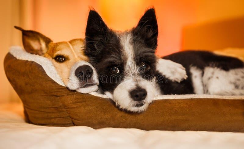 Cães no amor fotos de stock