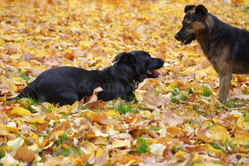 Cães no outono fotos de stock
