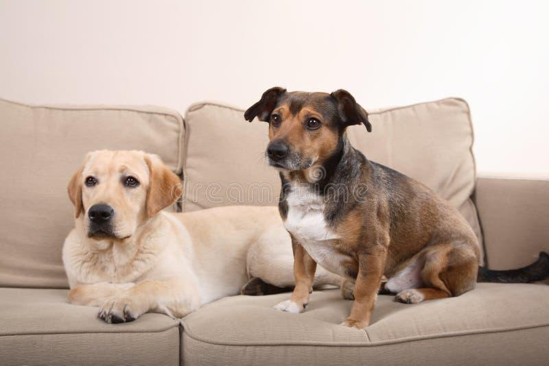 Cães no sofá foto de stock