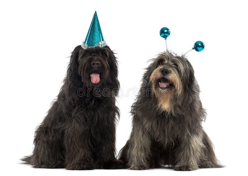 Cães pastor Catalan que vestem os chapéus do partido, arfando, imagem de stock