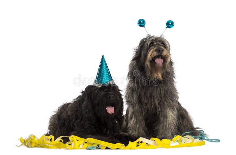 Cães pastor Catalan que vestem os chapéus do partido, arfando, fotografia de stock