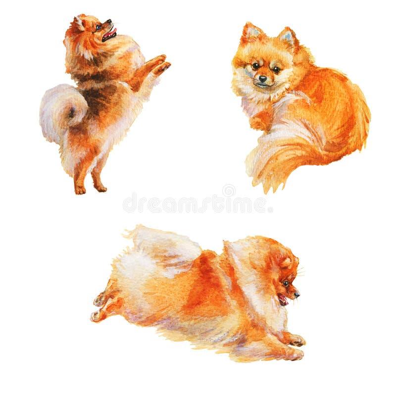 Cães-pelúcias da Watercolor pomeranian fotografia de stock royalty free