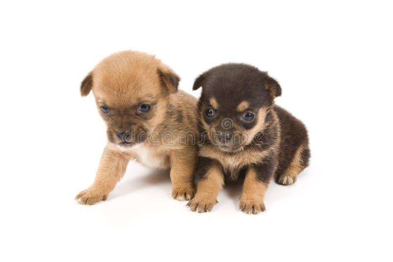 Cães pequenos imagem de stock