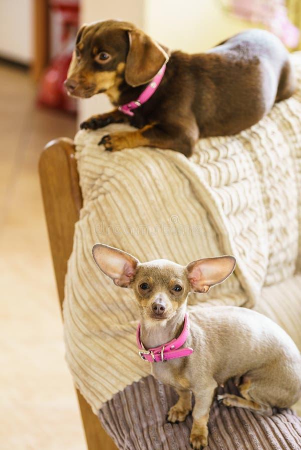 Cães pequenos que refrigeram no sofá imagem de stock