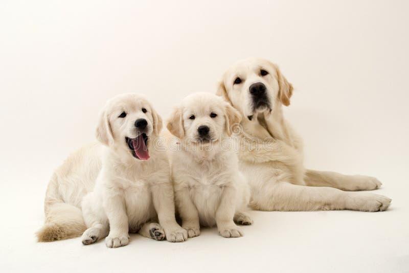 Cães preguiçosos imagens de stock