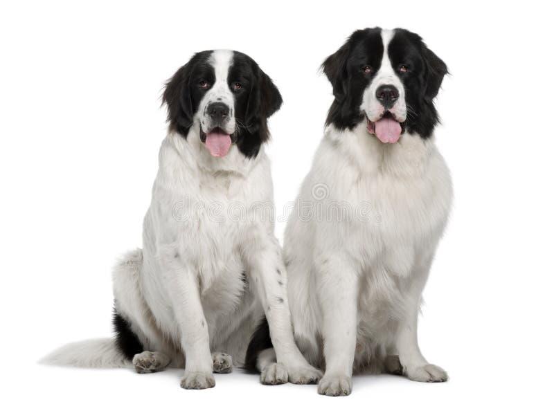 Cães preto e branco de Landseer, sentando-se imagens de stock