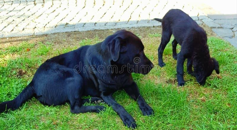 Cães pretos imagem de stock royalty free