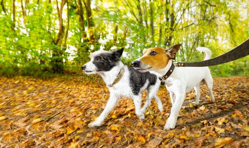 Cães que correm ou que andam no outono imagens de stock
