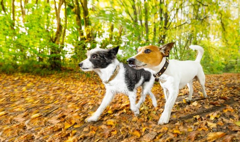 Cães que correm ou que andam no outono fotografia de stock royalty free