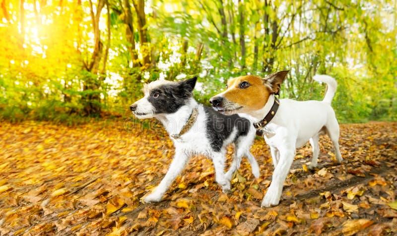 Cães que correm ou que andam no outono fotos de stock
