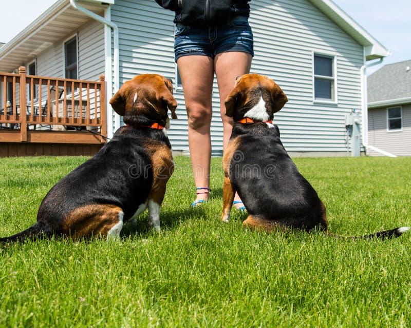 Cães que esperam na antecipação imagens de stock royalty free