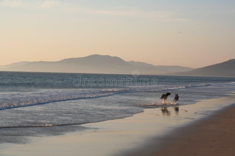 Cães Que Funcionam Na Praia Imagens de Stock Royalty Free
