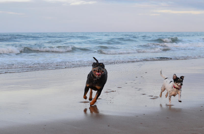 Cães que funcionam na praia fotografia de stock royalty free