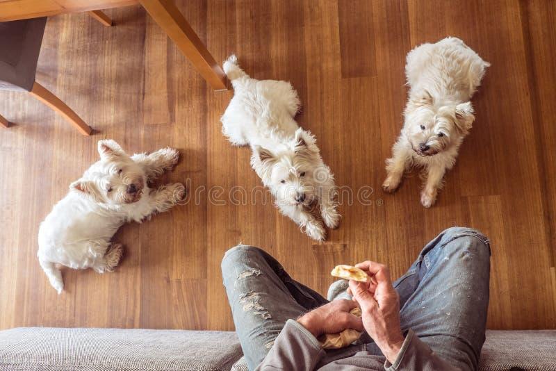 Cães que imploram pelo alimento: westie branco t das montanhas três ocidentais com fome imagens de stock