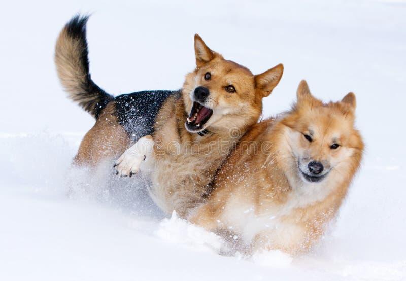 Cães que jogam na neve imagens de stock royalty free