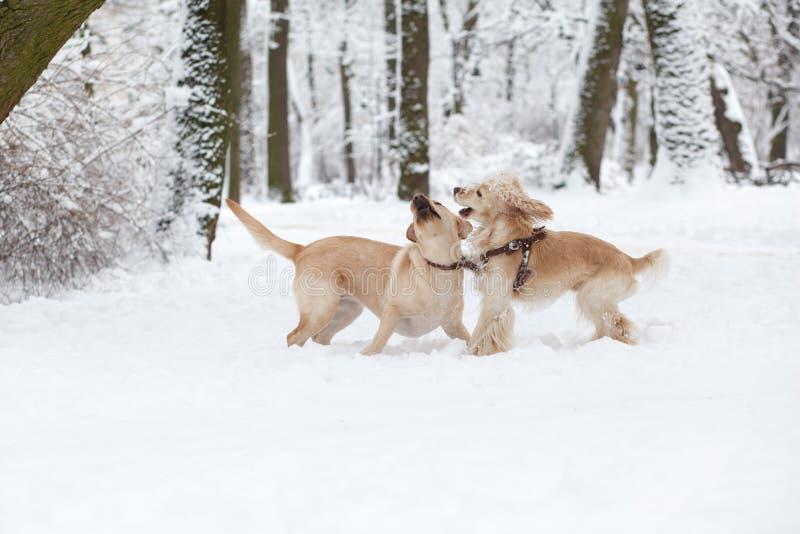 Cães que jogam na neve Caminhada do cão do inverno no parque imagens de stock royalty free