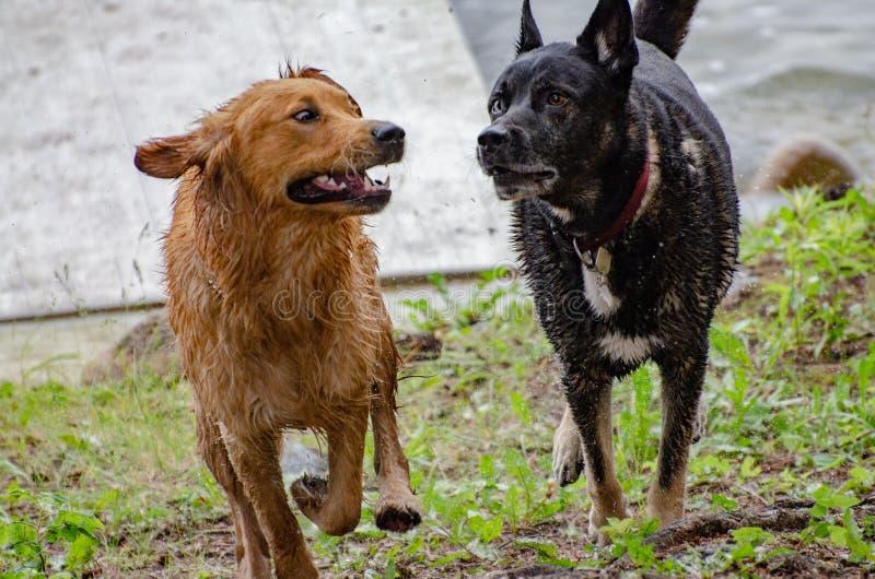 Cães que jogam no lago fotos de stock