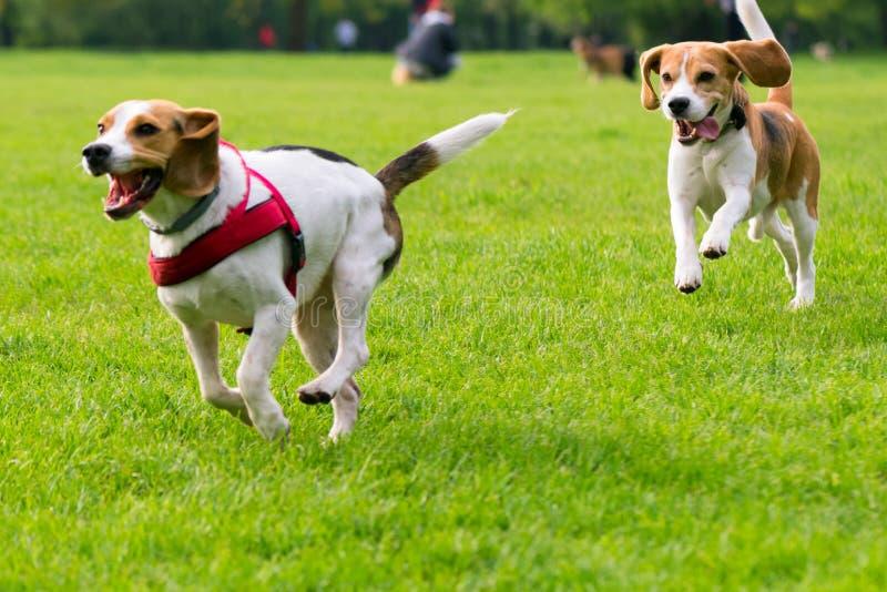 Cães que jogam no parque imagens de stock