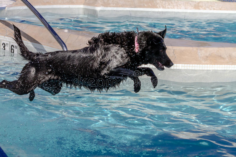 Cães que nadam em público a associação imagem de stock royalty free
