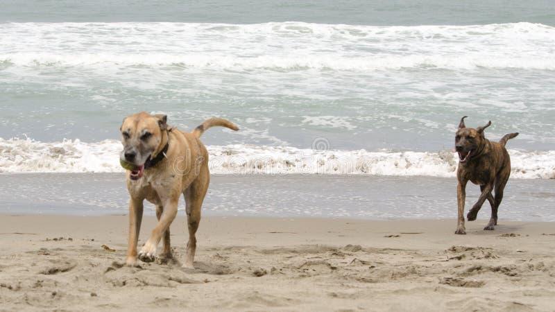 Cães que perseguem na praia imagens de stock royalty free