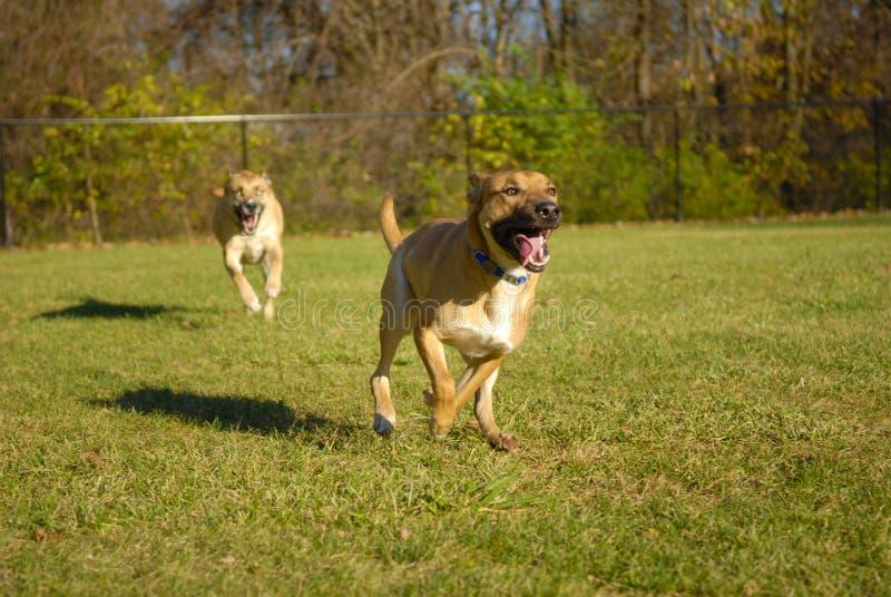 Cães que perseguem-se fotografia de stock