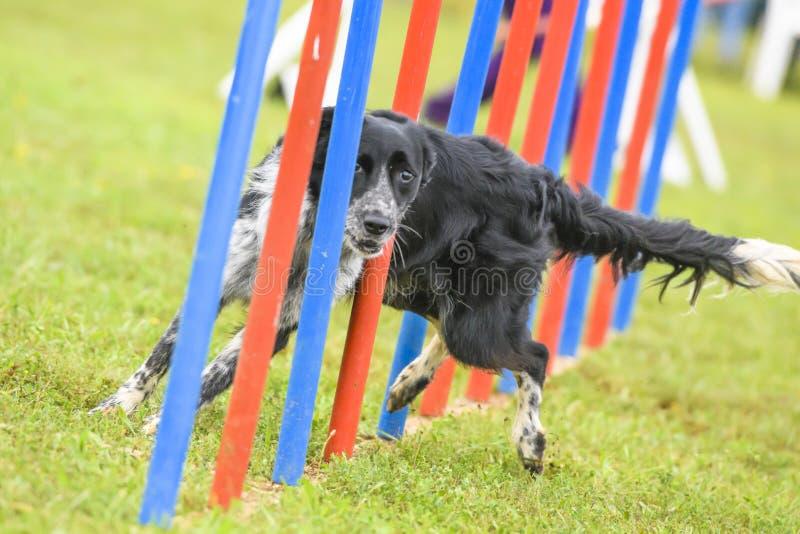 Cães que praticam o esporte da agilidade imagens de stock royalty free