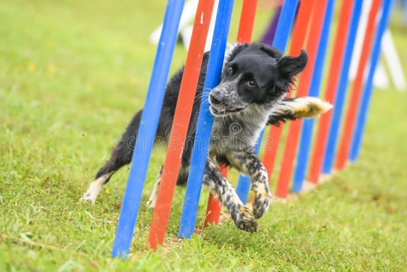 Cães que praticam o esporte da agilidade imagem de stock royalty free