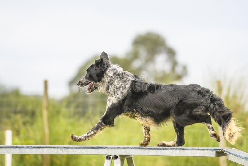 Cães que praticam o esporte da agilidade fotos de stock