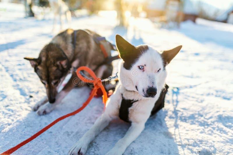 Cães roncos fotos de stock
