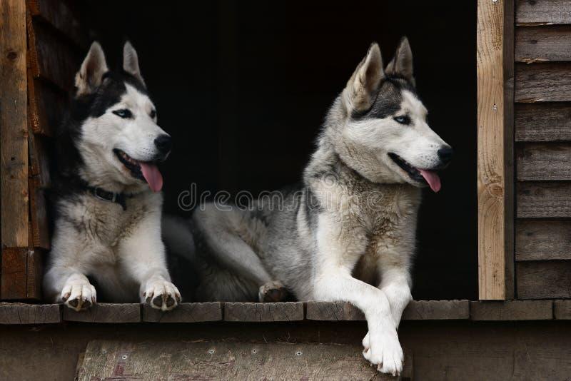 Cães roncos fotos de stock royalty free