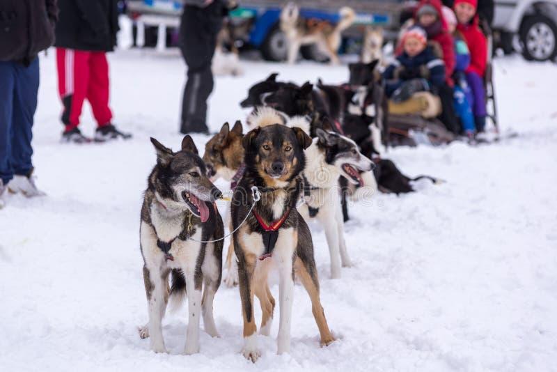 Cães roncos que esperam a ação fotografia de stock