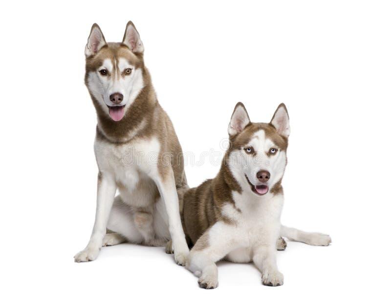 Cães roncos que sentam-se na frente do fundo branco fotografia de stock