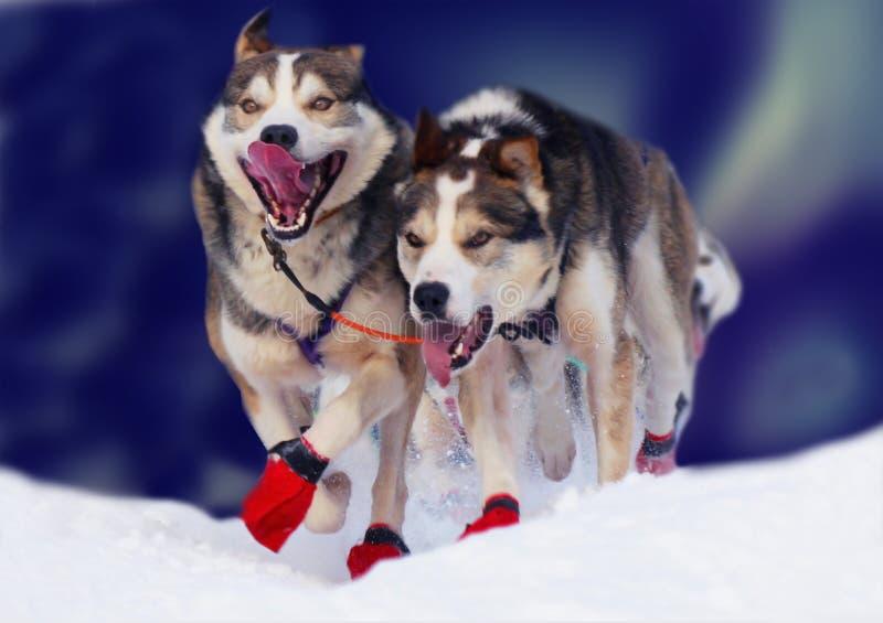 Cães Running imagens de stock royalty free